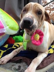 Beau ~ Abused but still a Love Bug!!! is an adoptable Shar Pei Dog in Waterford, MI. ADOPTION EVENT SATURDAY APRIL 13TH FROM 1-4 �AT THE PET SUPPLIES PLUS IN FARMINGTON HILLS� ON ORCHARD LAKE RD BETWE...