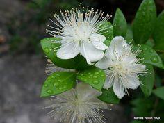 Myrtle flowers by Marlis1, via Flickr