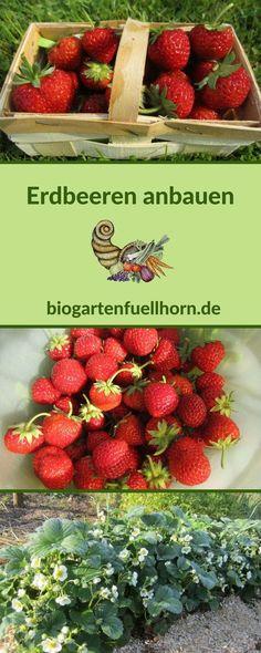 So klappt der Anbau von Erdbeeren im Garten. Lies hier, um mehr zu erfahren. #erdbeerenanbauen #erdebeerengarten #anbauvonerdbeeren