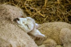 Easter Sunday, 2015 ~ Lamb Camp at Final Frontier Farm in Paris, Kentucky. Photo by Sara at Punkin's Patch on Equinox Farm in Cynthiana, Kentucky.