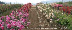 Staemme - Rosen von Schultheis