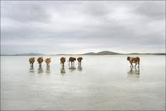 cattle north uist - Google Search