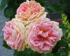 Large-Flowered Climbing Rose 'Alchemist' (aka 'The Alchymist') (Rosa)