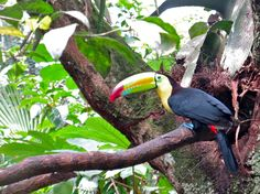 Toucan in the Belize Zoo, it is the country's national bird.