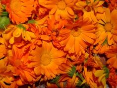 Calendua, The marigold contains high levels of carotenoids, which act as a precursor to Vitamins A and flavenoids, which protect cell structure. Diy Natural Beauty Recipes, Diy Beauty, Beauty Hacks, Beauty Tips, Hair Care Recipes, Hair Mist, Minimalist Beauty, Marigold Flower, Diy Hair Care