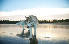Siberian Husky on a Frozen Lake 3 Lake Photos, Dog Photos, Dog Pictures, Animal Pictures, Russian Husky, Surreal Photos, Snow Dogs, Seen, Dog Walking