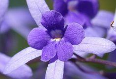 Queen's Wreath (Petrea volubilis) - Flickr - Photo Sharing!