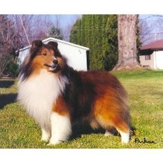 The Shetland Sheepdog originated in the and its ancestors were from Scotland, which worked as herding dogs. These early dogs were fairly Mini Collie, Collie Dog, Smooth Collie, Rough Collie, Shetland Sheepdog Puppies, Sheep Dogs, Herding Dogs, Sheltie, I Love Dogs