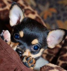 Cute Baby Puppies, Chihuahua Puppies, Cute Dogs, Cute Small Animals, Cute Baby Animals, Cute Dog Pictures, Cat Lovers, Puppys, Doggies