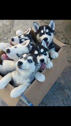 Boîte à husky!!