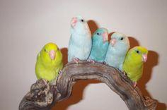 pretty budgies (parakeets)