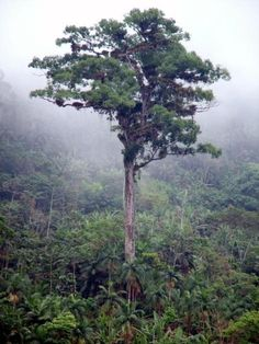 Yet another ancient South American resident is the 'Patriarca de Floresta' tree of Brazil. One of the biggest trees in the Atlantic Forest, this one is thought to be at least 3000 years old, almost certainly the oldest deciduous tree on the continent. Conifer Trees, Deciduous Trees, 10 Tree, Old Trees, Tree Forest, Science And Nature, Trees To Plant, Earth, World