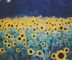 Via Tumblr Sunflower WallpaperField Of SunflowersSunflower