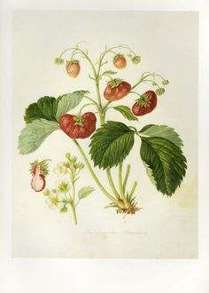 Botanical Strawberries Print or Book Plate SALE by GalleryBotanica