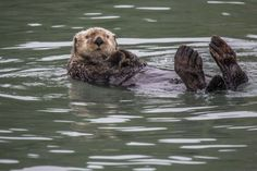 Sea otter is just floating about his day - January 11, 2014