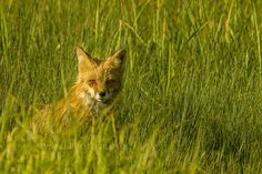 Green and golden red glory Golden Red, Cape Breton, Foxes, Wildlife, Island, Green, Animals, Animales, Animaux