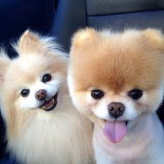 Pom, Pom, Pom . . . Hear That? It's a Pomeranian Parade! There's a reason why celebripup Boo is so darned adorable . . . beyond the fuzzball haircut and cute widdle pink tongue, the social media giant comes from a long line of teeny toy dogs called Pomeranians.