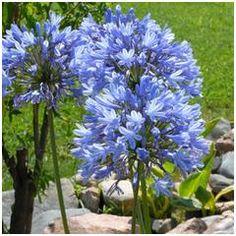 Agapanthe bleue | botanic.com