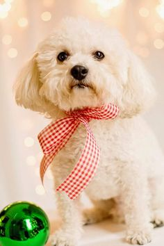 The Hottest Hairstyles for Your Dogs Animals And Pets, Baby Animals, Cute Animals, Super Cute Puppies, Cute Dogs, Bichon Poodle Mix, Christmas Dog, Christmas Photos, Dog Suit