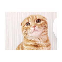 #スコティッシュフォールド #愛猫 #猫 #ぬこ #るた #るたるた #るたくん #scottishfold #cat #cats # # #にゃんすたぐらむ #ねこすたぐらむ #cute  #catstagram #catlove #肉球
