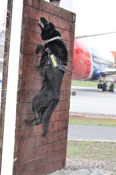 Military Working Dog (MWD) in action as he scales up and over a wall. Amazing what these dogs can do!