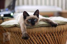Siamese Kittens, Cats And Kittens, Gato Munchkin, Korat, Photo Chat, Cat Wallpaper, Cat Facts, Beautiful Cats, Dog Cat