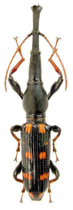 Eutrachelus temmincki