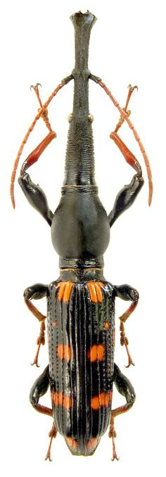 Eutrachelus temmincki, from Indonesia, is classified as a Brentidae. Brentidae is a cosmopolitan family of primarily xylophagous beetles also known as straight-snouted weevils.