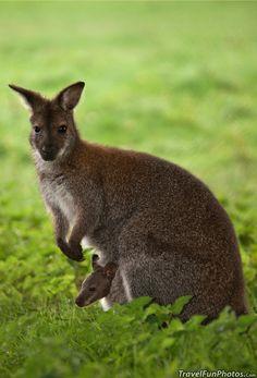 Wallaby Mama & Baby - Whipsnade Zoo - Dagnall, England