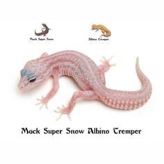 Leopard Gecko Mack Super Snow Albino Tremper Leopard Gecko Care, Leopard Gecko Morphs, Reptile Terrarium, Reptiles And Amphibians, Husky Puppy, Albino, Baby Animals, Snow, Genetics