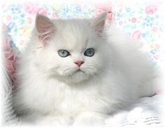 Google Image Result for http://white-persian-cats.com/wp-content/uploads/2009/02/white-persian-cat.jpg