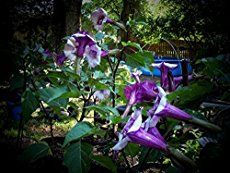 Angel Trumpet - Brugmansia, are hardy, vigorous plants, producing large, fragrant, pendent, trumpet shaped flowers 6 - 10 inches long. [LEARN MORE]