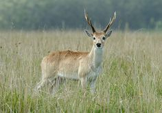 Pampas deer from South America; less than 1% of their natural habitat is left from 1900.