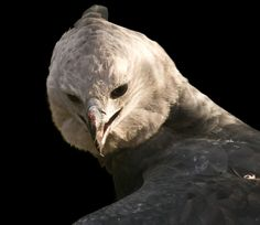 """t is possible that the crested head and the massive size of female harpy eagles could've been one of the reasons why the name """"Harpy"""" was attached to the eagle."""