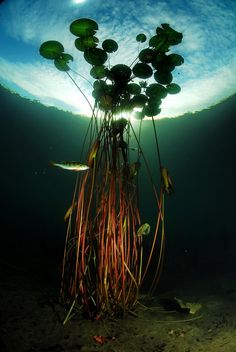"""WATERLILY AND PERCH"" - do a shoot underwater with the golden ball with the lens and image as such"
