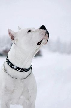 Gorgeous White Pitt Bull
