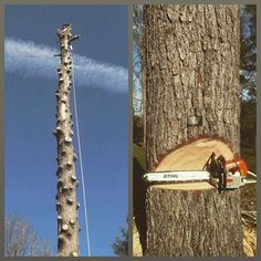 Big Tree Award, Nashville 2004. This old white pine came down today, with just a little help from Richard, @young.treesteward , and @bgillon  #nashville #arborist #arblife #stihllife #stihl #andersentreespecialists #treework