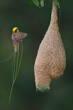 Bajaweber Webervögel wie der asiatische Ploceus philippinus sind Topdesigner. Ihre wasserdichten, hängenden Kreationen mit Eingang im Unter...