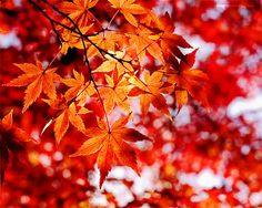 Scarlet Red Autumn Photography 8x10 20x25cm fall by magnesina, $14.00