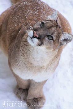 Puma ~ What a beauty