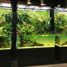 アクアレビューさんはInstagramを利用しています:「向かい壁の緑化? 周りの空気が凛とした。 #aquarevue #aquarium #ADA #natureaquarium #インテリア #雑貨 #水槽 #maintenance #hobby #gallery #水草 #植物 #オニバス #工芸品 #伝産品 #職人技…」 Aquarium Terrarium, Discus Aquarium, Planted Aquarium, Freshwater Aquarium, Aquascaping, Box Water, Fresh Water, Paludarium, Fish Aquarium Decorations