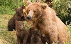 Mama Grizzly Bear Euthanized After Fatally Attacking Yellowstone Hiker. This article explains why Yellowstone put down the bear. They saved the cubs.