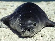 Photo: Hawaiian monk seal