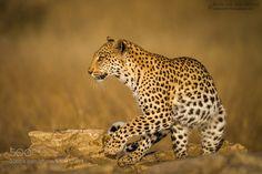 Kgalagadi Leopardess by LinRu #animals #pets #fadighanemmd