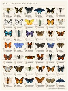 """Eleanor Lutz - """"I checked out six butterfly field guides from the library and picked out some of the species I thought were the most unique and beautiful. It's meant as a chart of decorative species illustrations rather than an educational infographic. Butterfly Species, Butterfly Gif, Butterfly Symbolism, Butterfly Feeder, Monarch Butterfly Tattoo, Butterfly Exhibit, Butterfly Project, Rainbow Butterfly, Butterfly Tattoos"""