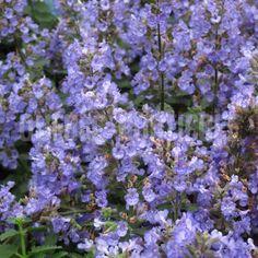 image de Nepeta Purrsian Blue