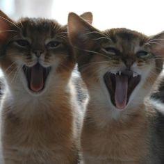 how darling are these Abyssinian kittens?! LOVE them! …but HATE the breeders who go after them. #ADOPTDONTBUY