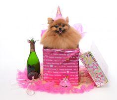 54 Best Pomeranian Birthday Images Pomeranian Pomeranians