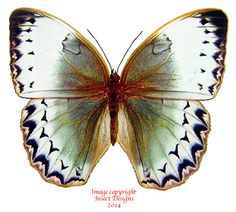 This is Stichophthalma cambodia from Thailand. All of the Stichophthalma butterflies are much loved by collectors.