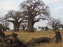 Adansonia digitata - Wikipedia, the free encyclopedia baobab